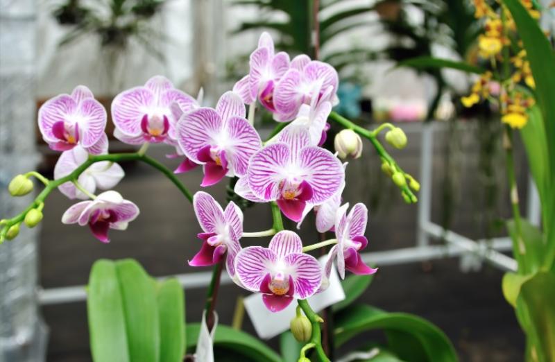 Víte, na co můžete použít droždí? Na orchideje! Budou mít krásné pupeny a okamžitě vykvetou